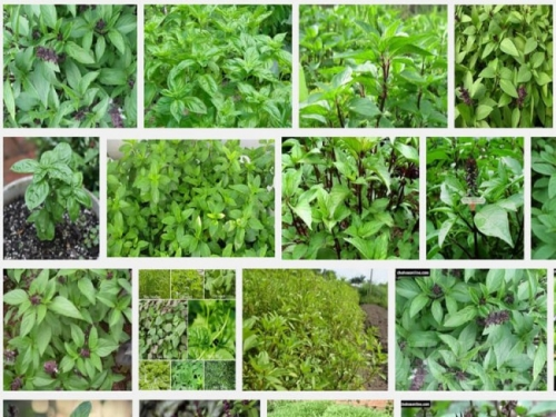 Hướng dẫn kỹ thuật trồng cây rau húng