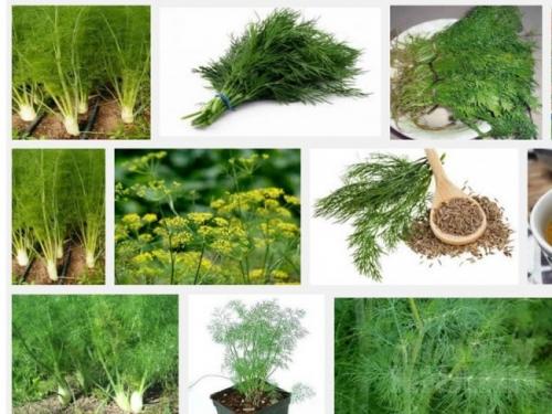 Kỹ thuật trồng cây rau Thì Là