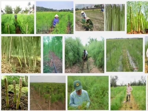 Kinh nghiệm trồng cây măng tây xanh