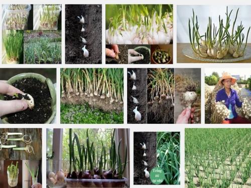Kỹ thuật trồng cây Tỏi, 108, Mai Tâm, Nông Nghiệp Nhanh, 26/10/2016 14:01:53