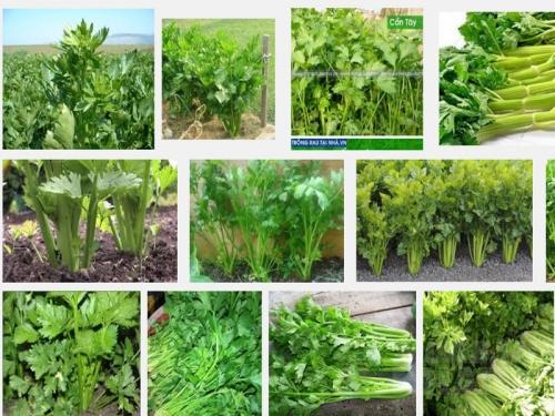 Kỹ thuật trồng và chăm sóc cây rau Cần tây, 109, Mai Tâm, Nông Nghiệp Nhanh, 26/10/2016 14:52:25