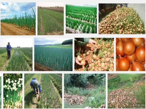 Kỹ thuật trồng và chăm sóc cây Hành tây, 110, Mai Tâm, Nông Nghiệp Nhanh, 26/10/2016 15:24:41
