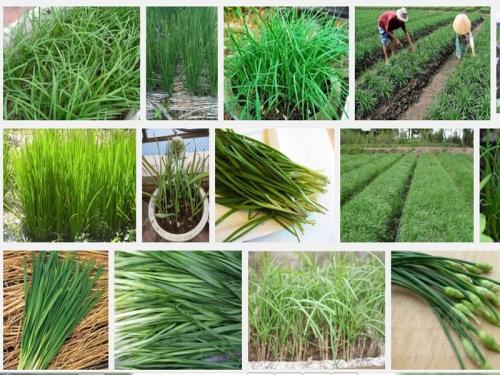 Kỹ thuật trồng cây Hẹ, 111, Mai Tâm, Nông Nghiệp Nhanh, 26/10/2016 15:52:39