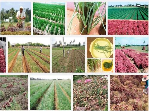 Kỹ thuật trồng cây Hành tím, 112, Mai Tâm, Nông Nghiệp Nhanh, 26/10/2016 16:30:43