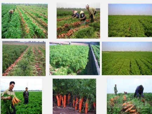 Kỹ thuật trồng và chăm sóc cây Cà Rốt, 113, Mai Tâm, Nông Nghiệp Nhanh, 27/10/2016 09:25:07