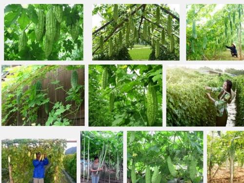 Kỹ thuật trồng và chăm sóc cây Mướp Đắng, 115, Mai Tâm, Nông Nghiệp Nhanh, 27/10/2016 10:12:36