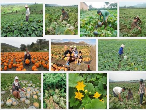 Kỹ thuật trồng cây Bí Ngô năng suất cao, 116, Mai Tâm, Nông Nghiệp Nhanh, 27/10/2016 10:30:02