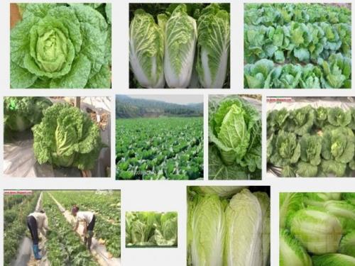 Kỹ thuật trồng cây cải Thảo