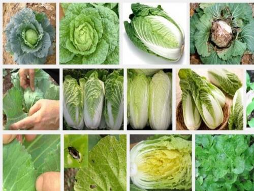 Biện pháp phòng trừ sâu bệnh hại rau cải Thảo
