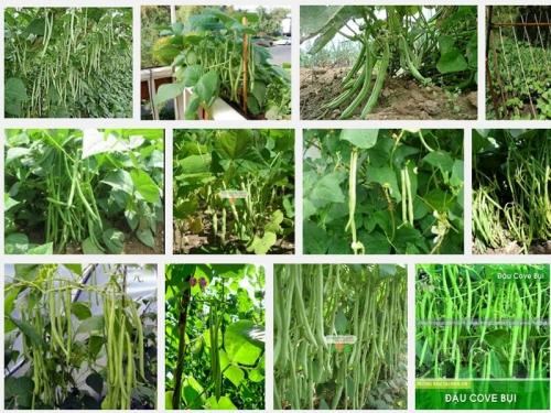 Hướng dẫn kỹ thuật trồng đậu Cô ve leo, 120, Mai Tâm, Nông Nghiệp Nhanh, 27/10/2016 14:23:01