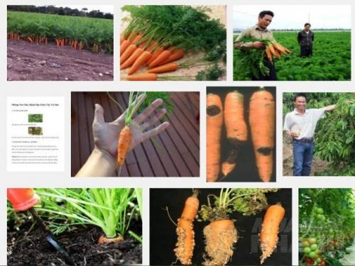 Các loại sâu bệnh thường gặp trên cây Cà Rốt