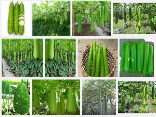 Kỹ thuật trồng cây Bầu
