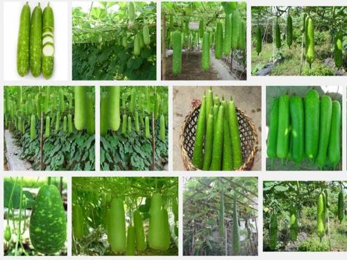 Kỹ thuật trồng cây Bầu, 125, Mai Tâm, Nông Nghiệp Nhanh, 30/06/2020 10:30:36