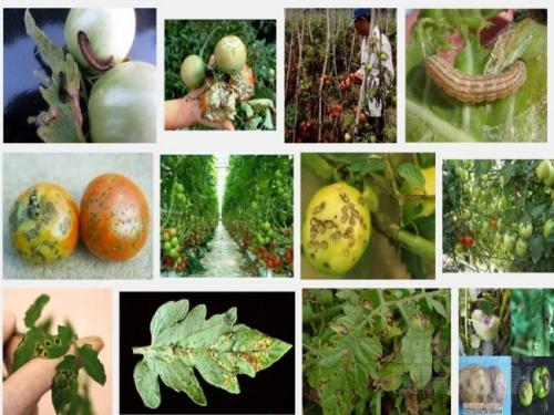 Sâu bệnh hại cà chua và biện pháp phòng trị