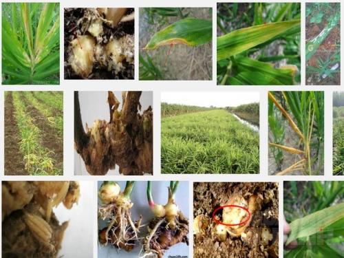Các loại sâu bệnh hại thường gặp ở cây Gừng, 127, Mai Tâm, Nông Nghiệp Nhanh, 28/10/2016 14:32:19