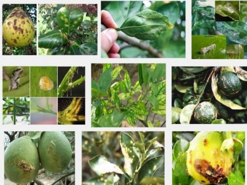 Các loại sâu hại cây cam quýt bưởi và cách phòng trị