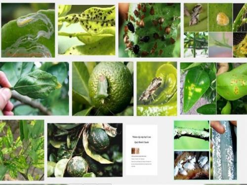 Các loại sâu bệnh hại cây cam quýt bưởi và cách phòng trị