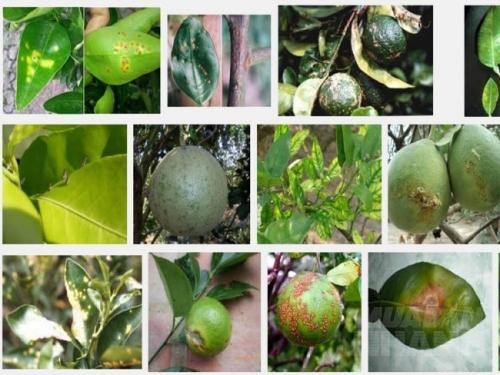 Biện pháp phòng trị một số sâu bệnh hại cây cam chanh quýt bưởi