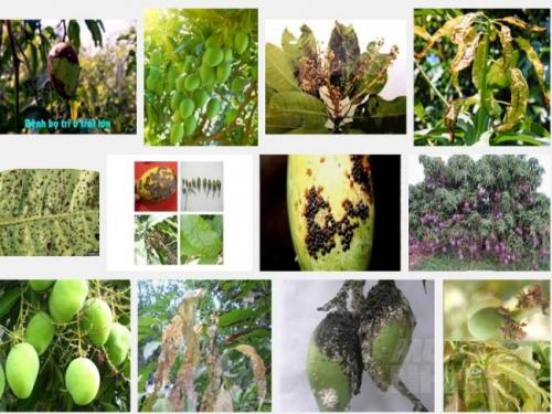 Biện pháp phòng trừ sâu bệnh hại cây Xoài