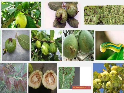 Các bệnh thường gặp trên cây Ổi, 134, Mai Tâm, Nông Nghiệp Nhanh, 29/10/2016 12:02:53
