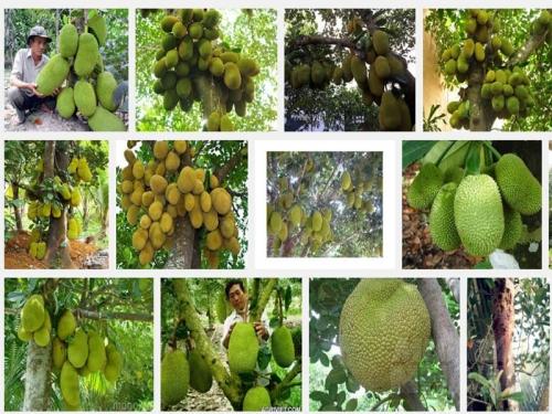 Một số sâu bệnh thường gặp trên cây Mít và cách phòng trừ, 136, Mai Tâm, Nông Nghiệp Nhanh, 31/10/2016 09:43:52