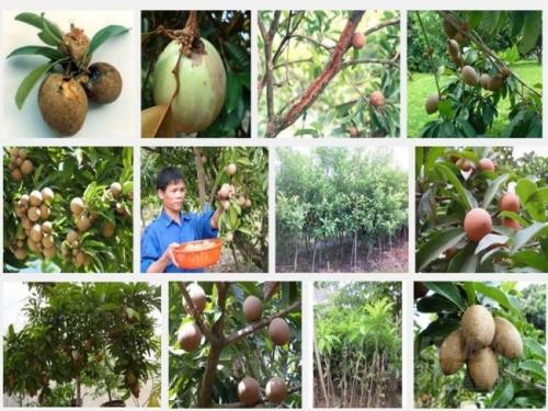 Phòng trừ sâu bệnh hại cây Hồng Xiêm