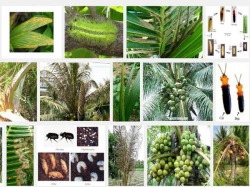 Biện pháp phòng trừ các loại sâu bệnh hại cây Dừa