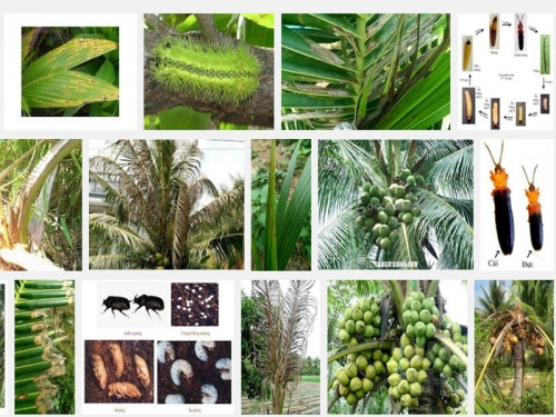 Biện pháp phòng trừ các loại sâu bệnh hại cây Dừa, 141, Mai Tâm, Nông Nghiệp Nhanh, 31/10/2016 14:20:28
