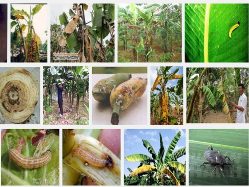 Các loại sâu bệnh hại cây Chuối và biện pháp phòng trừ, 142, Mai Tâm, Nông Nghiệp Nhanh, 31/10/2016 15:03:08