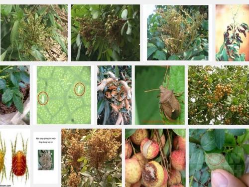 Các loại sâu bệnh thường gặp trên cây Vải và biện pháp phòng trừ, 143, Mai Tâm, Nông Nghiệp Nhanh, 31/10/2016 15:48:29