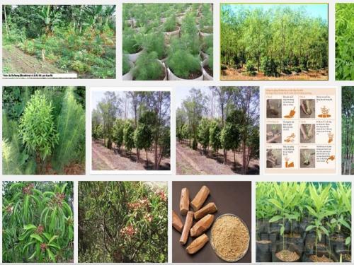 Kỹ thuật trồng và chăm sóc cây gỗ Đàn Hương, 146, Mai Tâm, Nông Nghiệp Nhanh, 01/11/2016 10:05:16