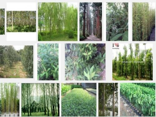 Kỹ thuật trồng cây Trúc Liễu