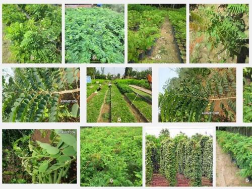 Kỹ thuật trồng và chăm sóc cây Cẩm Lai, 149, Mai Tâm, Nông Nghiệp Nhanh, 01/11/2016 13:29:36