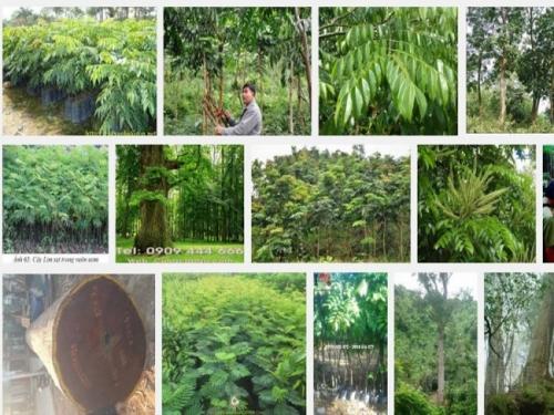 Kỹ thuật trồng cây gỗ Lim Xanh