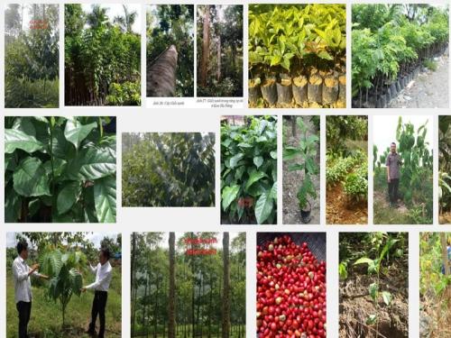 Hướng dẫn kỹ thuật ươm trồng cây Giổi Xanh, 151, Mai Tâm, Nông Nghiệp Nhanh, 01/11/2016 15:10:11