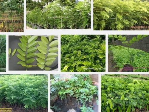 Kỹ thuật ươm trồng và chăm sóc cây Sưa đỏ, 152, Mai Tâm, Nông Nghiệp Nhanh, 01/11/2016 15:52:50
