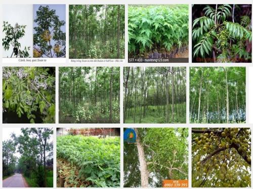 Hướng dẫn kỹ thuật ươm trồng cây Xoan ta, 153, Mai Tâm, Nông Nghiệp Nhanh, 01/11/2016 16:22:32