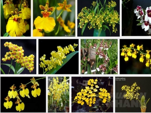 Kỹ thuật trồng và chăm sóc lan Vũ nữ - oncidium