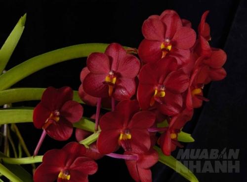 Hoa lan Ascocenda
