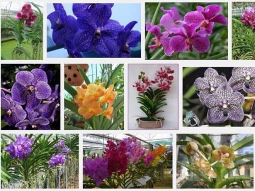 Tìm hiểu về loài hoa lan Vanda - Vân lan