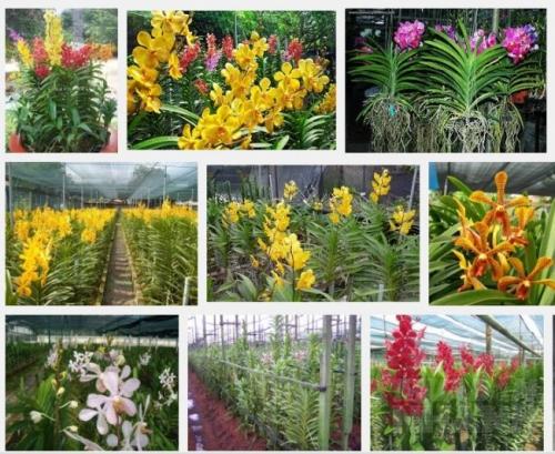 Hướng dẫn kỹ thuật trồng và chăm sóc lan Mokara