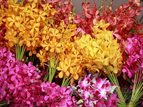 Kỹ thuật kích thích cho lan Mokara ra hoa đúng Tết, 165, Mai Tâm, Nông Nghiệp Nhanh, 08/11/2016 10:20:08