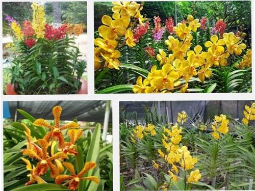 Kinh nghiệm trồng lan Mokara, 166, Mai Tâm, Nông Nghiệp Nhanh, 08/11/2016 10:57:20