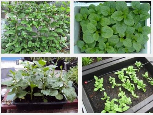 Bí quyết trồng rau mồng tơi sạch tại nhà ăn không hết, 167, Mai Tâm, Nông Nghiệp Nhanh, 09/11/2016 15:52:44