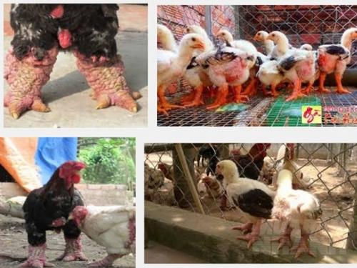 Hướng dẫn cách nuôi gà Đông Tảo cụ thể và hiệu quả nhất