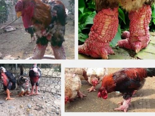 Kinh nghiệm lựa chọn gà Đông Tảo giống thuần chủng