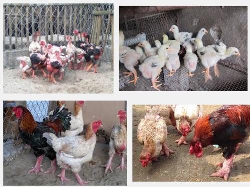 Cách lựa chọn gà Đông Tảo giống tốt nhất, 177, Mai Tâm, Nông Nghiệp Nhanh, 14/11/2016 16:21:04