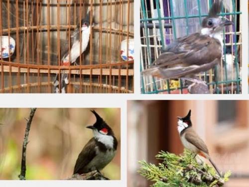 Cách chăm sóc chim chào mào khi thay lông