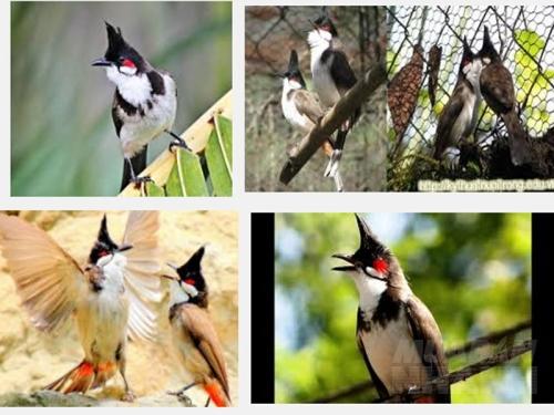 Cách huấn luyện cho chim chào mào hót hay, 184, Mai Tâm, Nông Nghiệp Nhanh, 16/11/2016 16:12:10