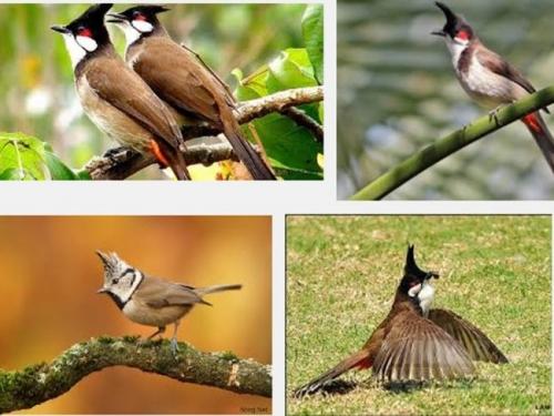 Hướng dẫn nuôi chim chào mào chi tiết nhất